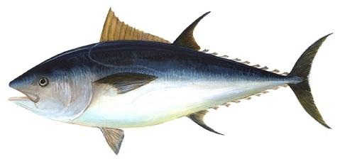 Japón exige mayor control sobre la pesca del atún rojo